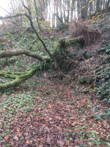 Carrigaline, Tracton Woods, fallen tree after storm Ophelia