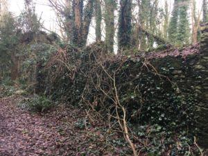 Castlemartyr, Mitchell's Loop, wall taken over by nature