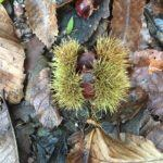 Chestnut in Curragh Woods