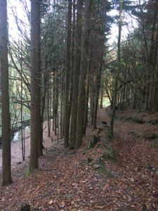Curragh Woods, comfortable trails through the forest area