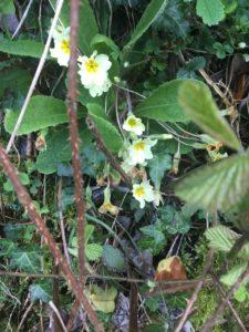 Blackwater LDW, primroses