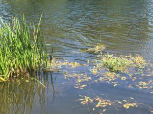 Blackwater River Walk, reed